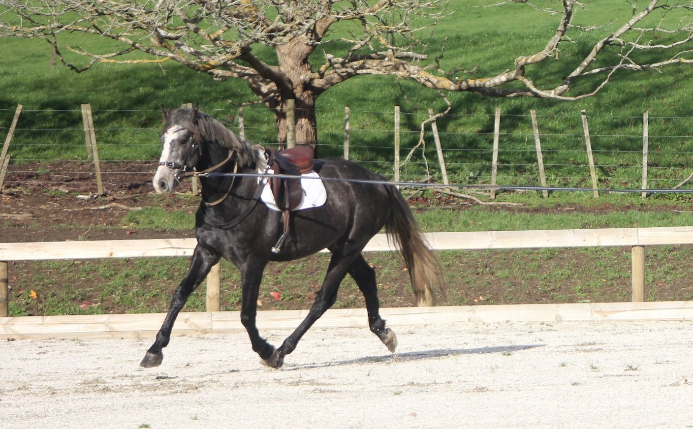 Stunning 5 yr old stallion by Ngahiwi Blue Indoctro (Indoctro VDL) out of Corland VDL mare. 16.1hh