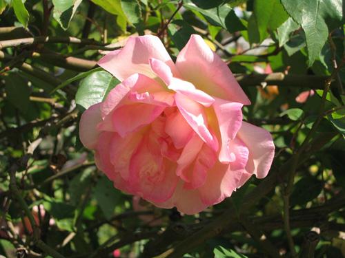 Souvenier de Mme Leonie flower