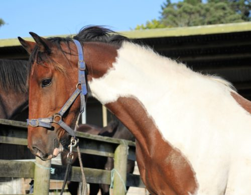 Gisborne bred gelding mature around 15.2hh rising 3yrs old.