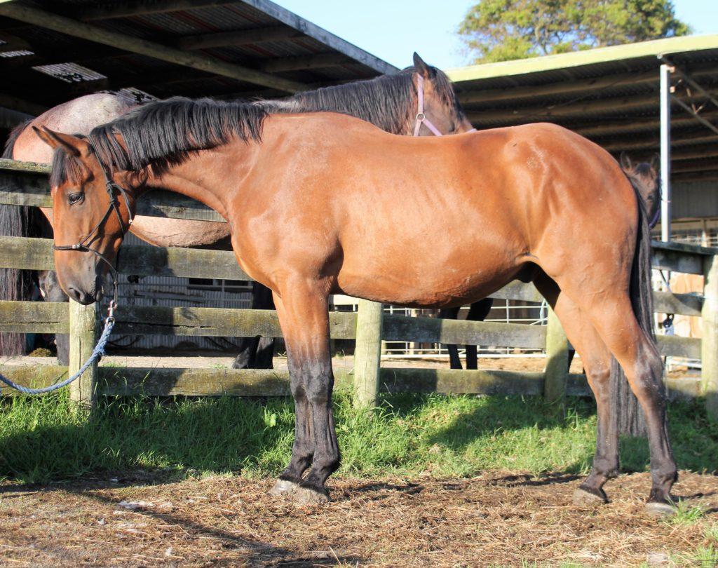 Gentle 3 yr old Gisbornebred gelding by Cleveland bay sire Forest, mature 16.2hh