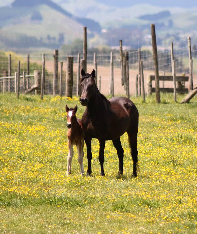 Kaimanawa foals