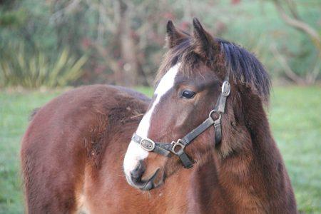 Kaimanawa foal
