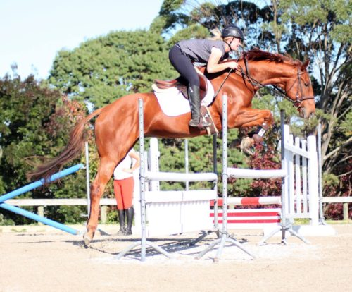 Fella show jumping 6yr old 16.2hh gelding by Faltaat