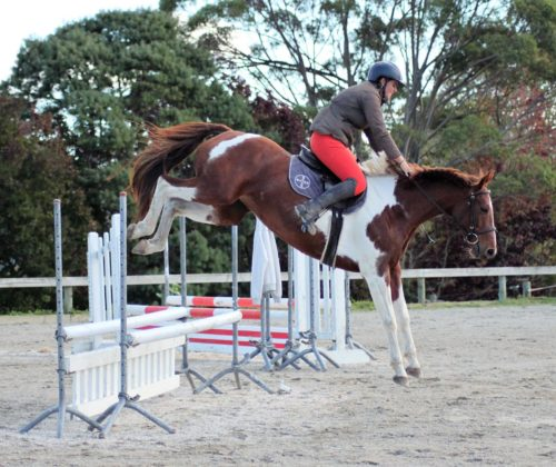 Stella 152cm 8yr old mare by Sinclair B (KWPN) out of well known little WC champ Dunstan Mumu.