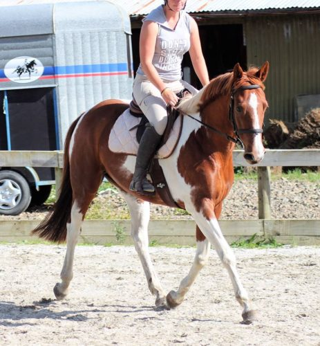 Signature Muve OL or Stella, gorgeous 8yr old 152cm mare
