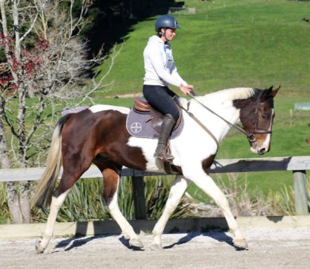 Handsome 16.2hh 5yr old warmblood gelding