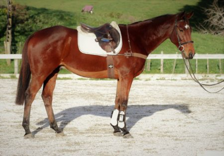 8yr old 16.0hh TB gelding by Mediator