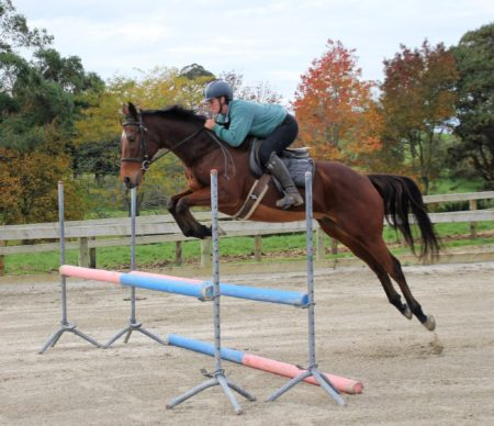 8yr old chunky 16.0hh TB gelding by Mediator.