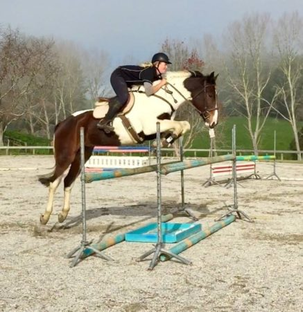 Elf show jumping Handsome 16.2hh 5yr old warmblood gelding